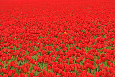 Photograph - Field Of Red Tulips by Peggy Collins