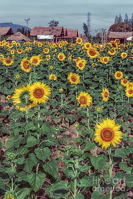 Three Trees Photograph - Field Of Sunflowers by Adrian Evans