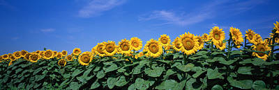 Field Of Sunflowers, Bogue, Kansas, Usa Print by Panoramic Images