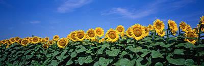 Field Of Sunflowers, Bogue, Kansas, Usa Art Print
