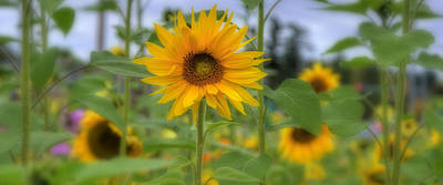 Sunflowers Royalty-Free and Rights-Managed Images - Field of Sunflowers by Joann Vitali