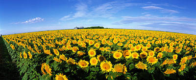 Field Of Sunflowers Kansas Usa Art Print by Panoramic Images