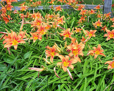 Photograph - Field Of Tiger Lilies by Aimee L Maher Photography and Art Visit ALMGallerydotcom