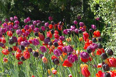 Photograph - Field Of Tulips 2 by Bill Woodstock