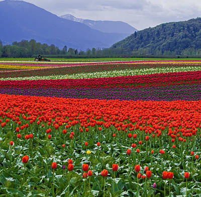Field Of Tulips Art Print