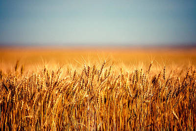 Wheat Field Photograph - Field Of Wheat by Todd Klassy