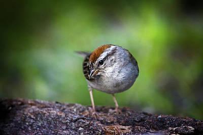 Canon Rebel T2i Photograph - Field Sparrow Bird by Samir Mustafic