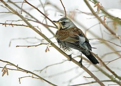 Thrush Wall Art - Photograph - Fieldfare Perching In A Tree by John Devries/science Photo Library