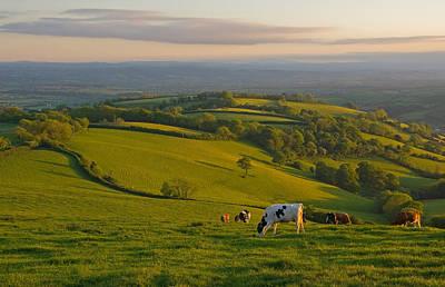 Fields And Cows In Devon Art Print