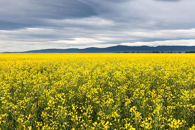Photograph - Fields Of Canola by Fran Riley