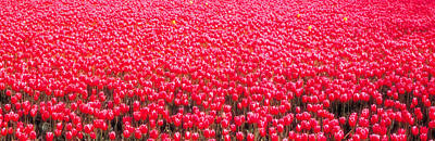Fushia Photograph - Fields Of Tulips Alkmaar Vicinity by Panoramic Images
