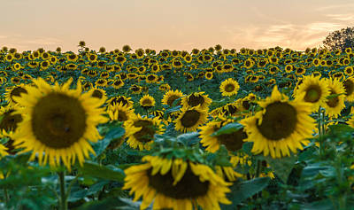 Sunflowers Royalty-Free and Rights-Managed Images - Fields of Yellow  by Kristopher Schoenleber