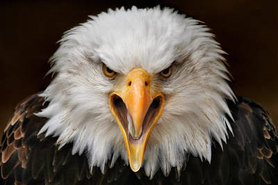 Eagle Photograph - Fierce by Jimmy Hoffman