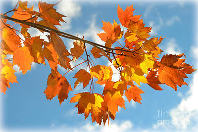 Photograph - Fiery Autumn Leaves On Light Blue Sky by Miriam Danar