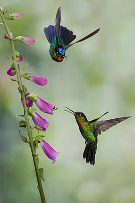 Hummingbird Photograph - Fiery Flowers by Chris Jimenez
