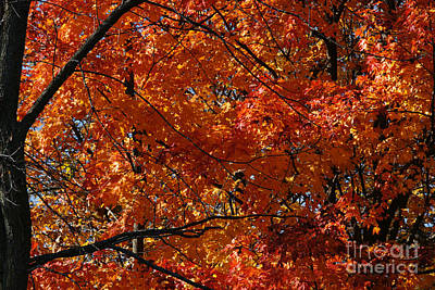 Photograph - Fiery Red by Linda Shafer