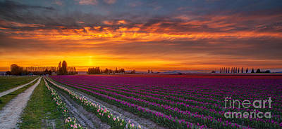 Fiery Skies Above Broad Tulips Art Print