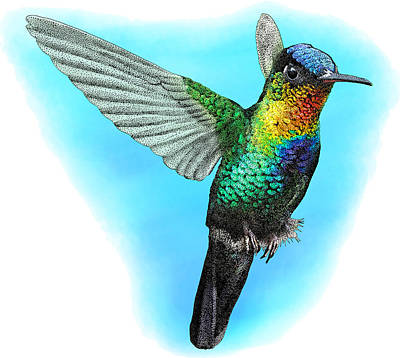 Photograph - Fiery-throated Hummingbird, Illustration by Roger Hall