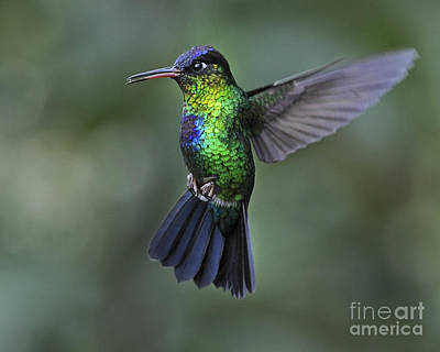 Fiery-throated Hummingbird..  Art Print by Nina Stavlund