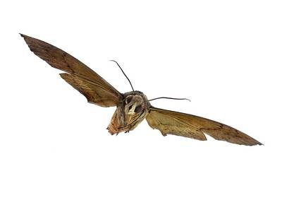 Butterfly In Flight Photograph - Fig Sphinx Moth by F. Martinez Clavel