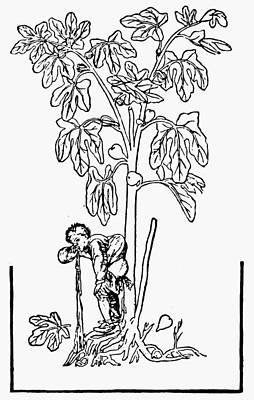Fig Tree, 16th Century Print by Granger
