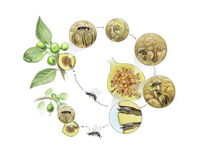 Fig Wasp Life Cycle Art Print by Nicolle R. Fuller