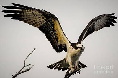 Osprey Photograph - Fight Or Flight by Quinn Sedam