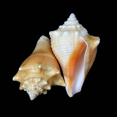 Photograph - Fighting Conch Seashells by Jennie Marie Schell