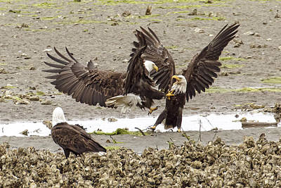 Photograph - Fighting Eagles by Wes and Dotty Weber
