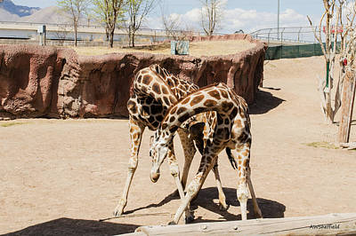 Photograph - Fighting Giraffes? by Allen Sheffield
