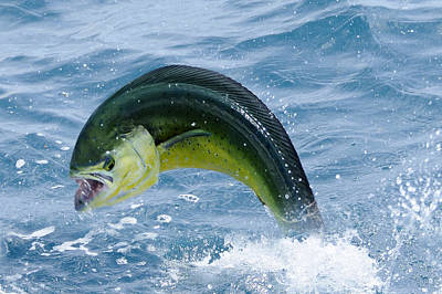 Photograph - Fighting Mahi Mahi by Bradford Martin