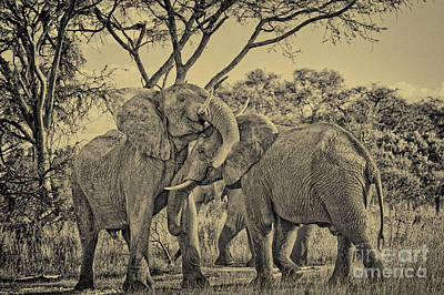 fighting male African elephants Original