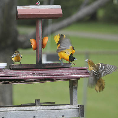 Photograph - Fighting Orioles by Heidi Hermes