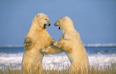 Fighting Polar Bears Art Print by M. Watson