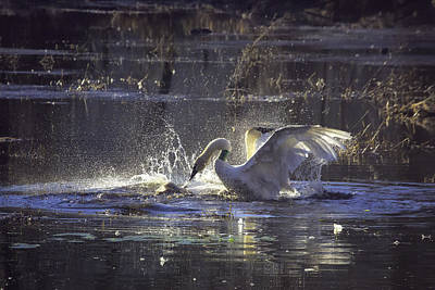 Photograph - Fighting Swans Boxley Mill Pond by Michael Dougherty