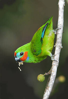 Photograph - Figparrot Eating Figs by David Clode