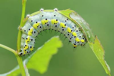 Eastern Europe Photograph - Figure Of Eight Caterpillar by Heath Mcdonald