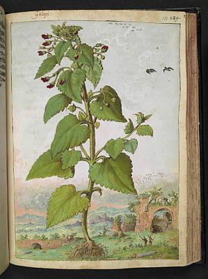 Angiosperm Photograph - Figwort (scrophularia Sp.) by British Library