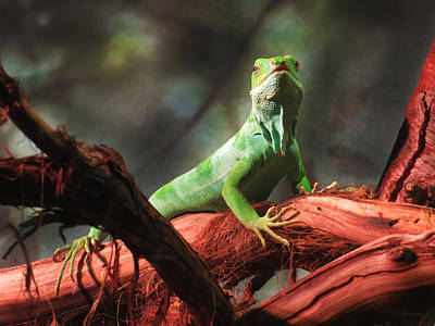 Photograph - Fiji Banded Iguana by Shawna Rowe
