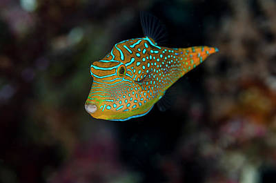 Toby Photograph - Fiji Close-up Of Papua Toby Fish Credit by Jaynes Gallery