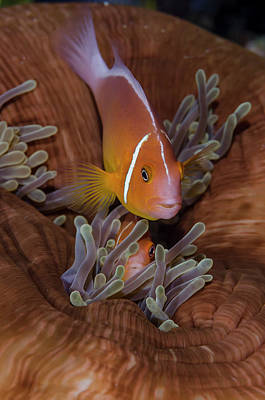 Clownfish Photograph - Fiji Clownfish Hiding Among Sea by Jaynes Gallery