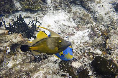 Filefish And Angelfish Eating A Sponge Art Print by Jim Murphy
