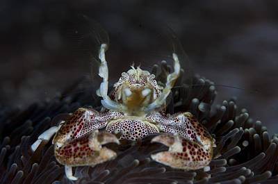 Porcelain Crabs Photograph - Filter Feeding Porcelain Crab by Science Photo Library