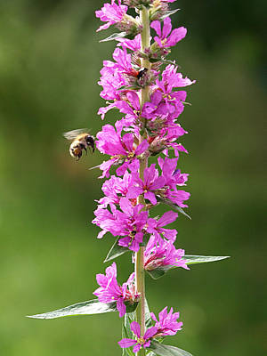 Photograph - Final Approach - Bee On Purple Loosestrife by Gill Billington