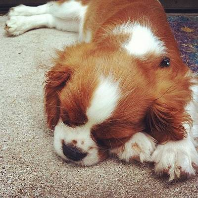 Cute Photograph - Finally Tired Out The Puppy by Kay Pickens