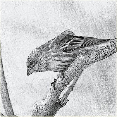 Finch Digital Sketch Art Print