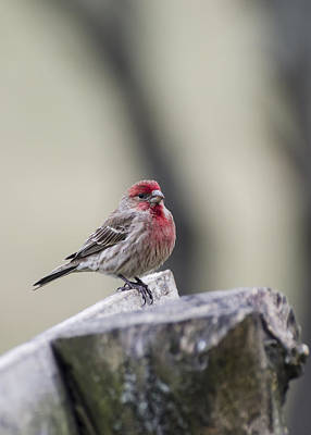 Photograph - Finch by Heather Applegate
