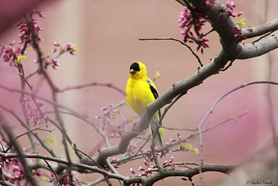 Finch In A Red Bud Print by Jackie Novak