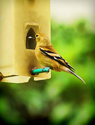 Photograph - Finch On A Feeder by Ron Roberts