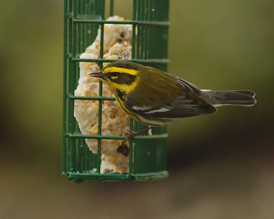 Photograph - Finch On A Suet by Ron Roberts